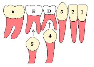 Permanent(1,2,3,) Teeth are Erupted & Milk Teeth (D,E)